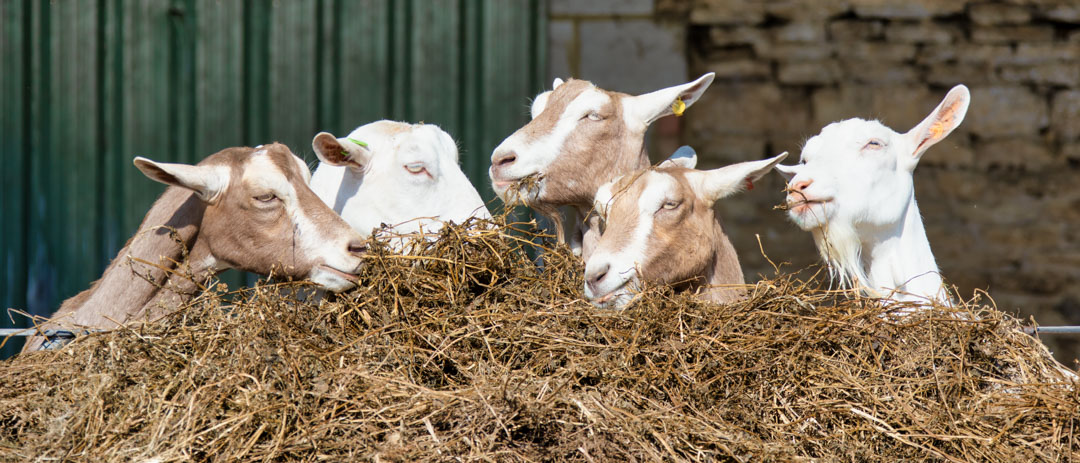 A year in the life of a Goat Dairy