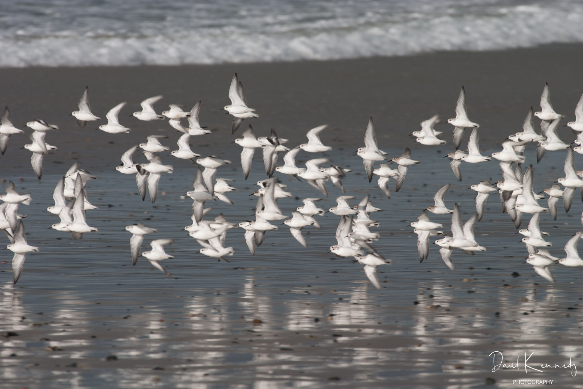A flock of small gulls flying low over wet sand