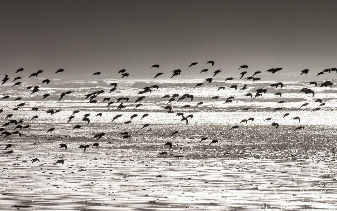 Flock of birds flying with sea and dark sky behind