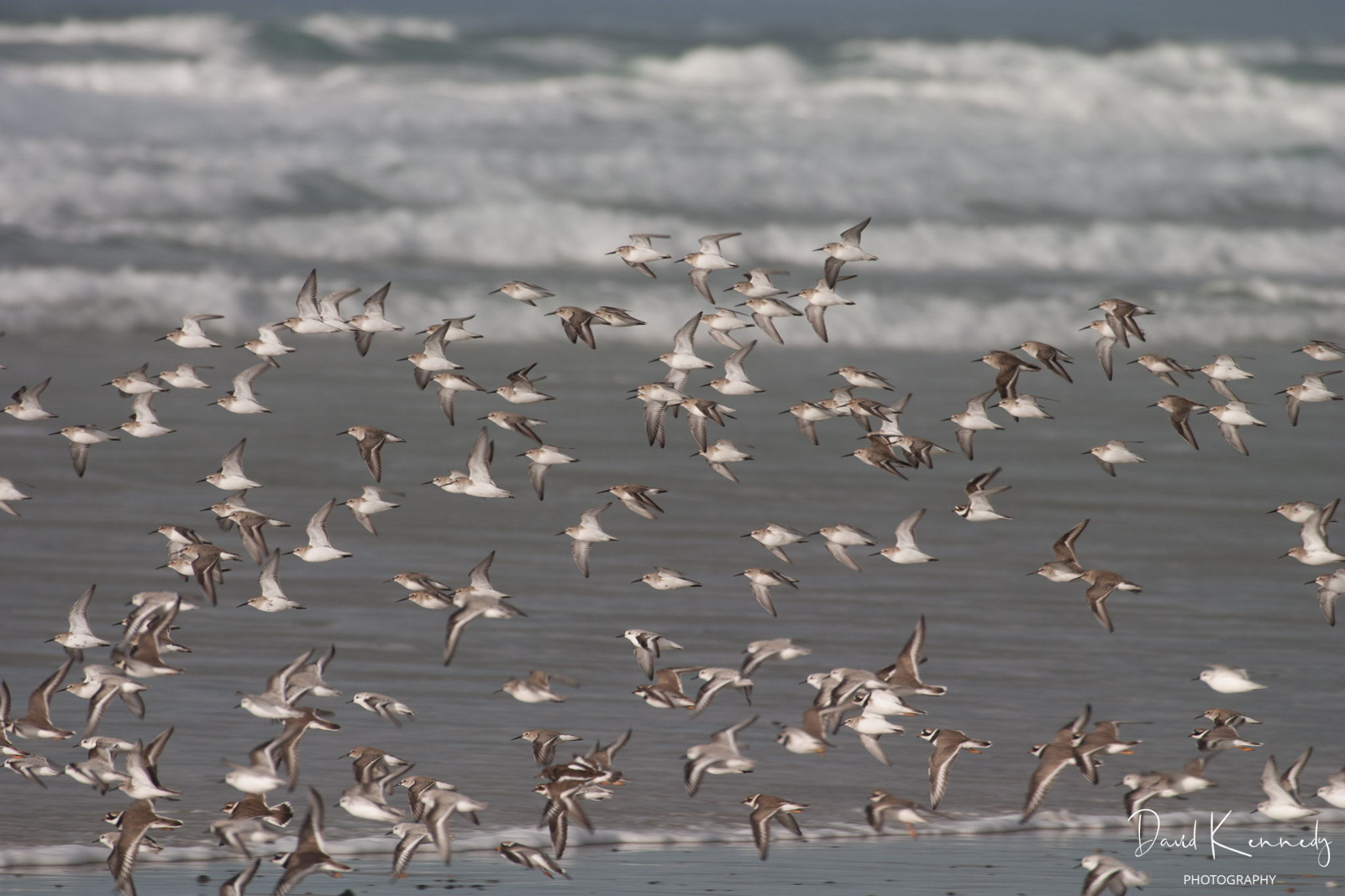 A squall of birds taking off from a beach with waves behind