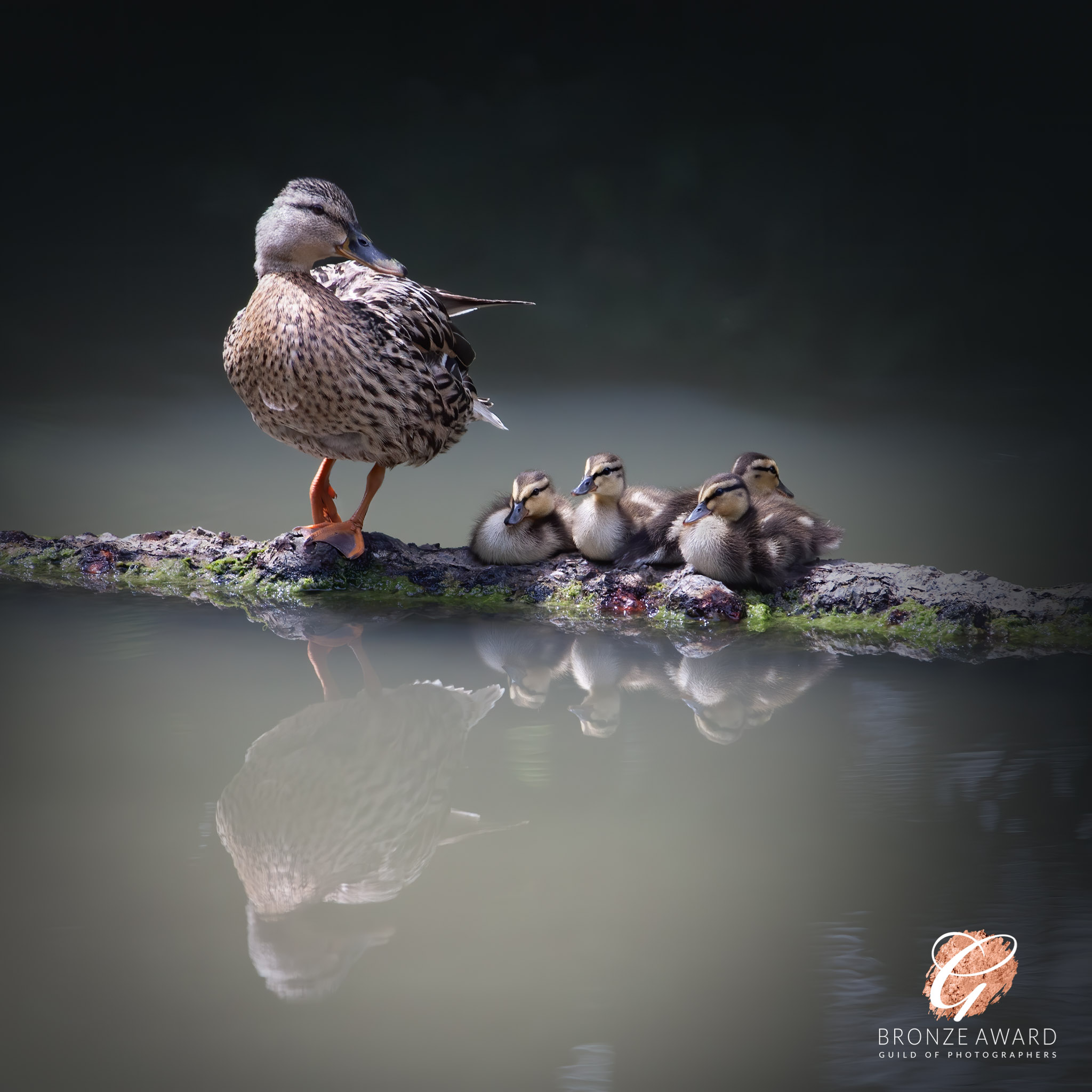 A cute image of a duck with 4 ducklings resting on a log in water