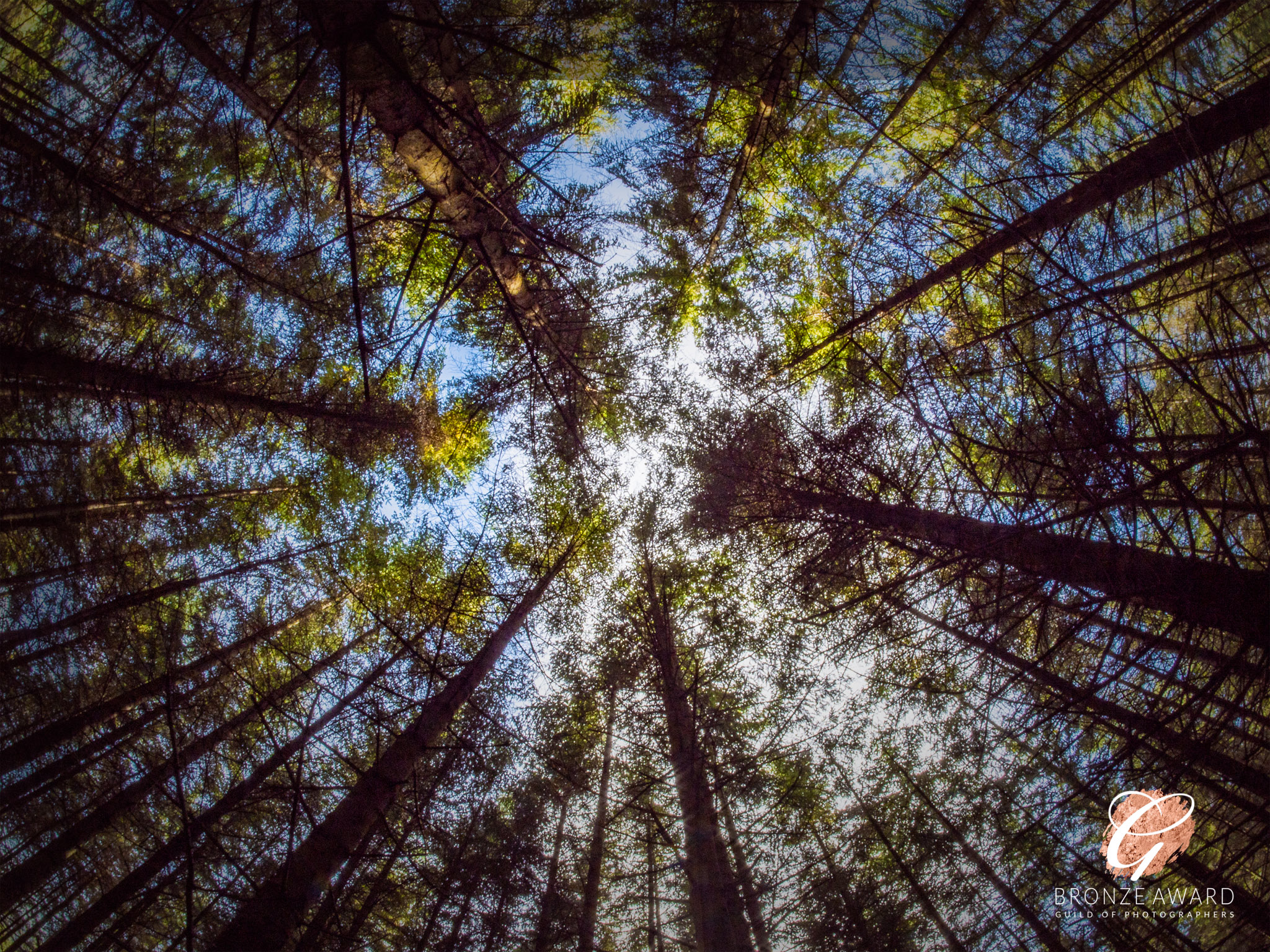 Looking straight up at the blue sky through a forest of fir trees.