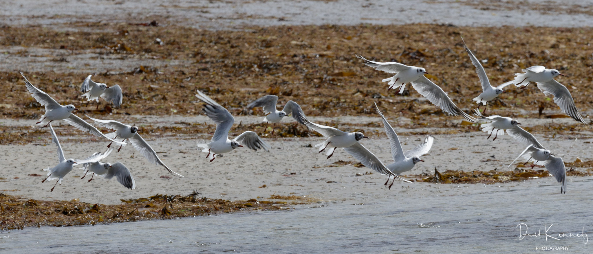 A small flock of black headed gulls flying above water with beach and seaweed in background