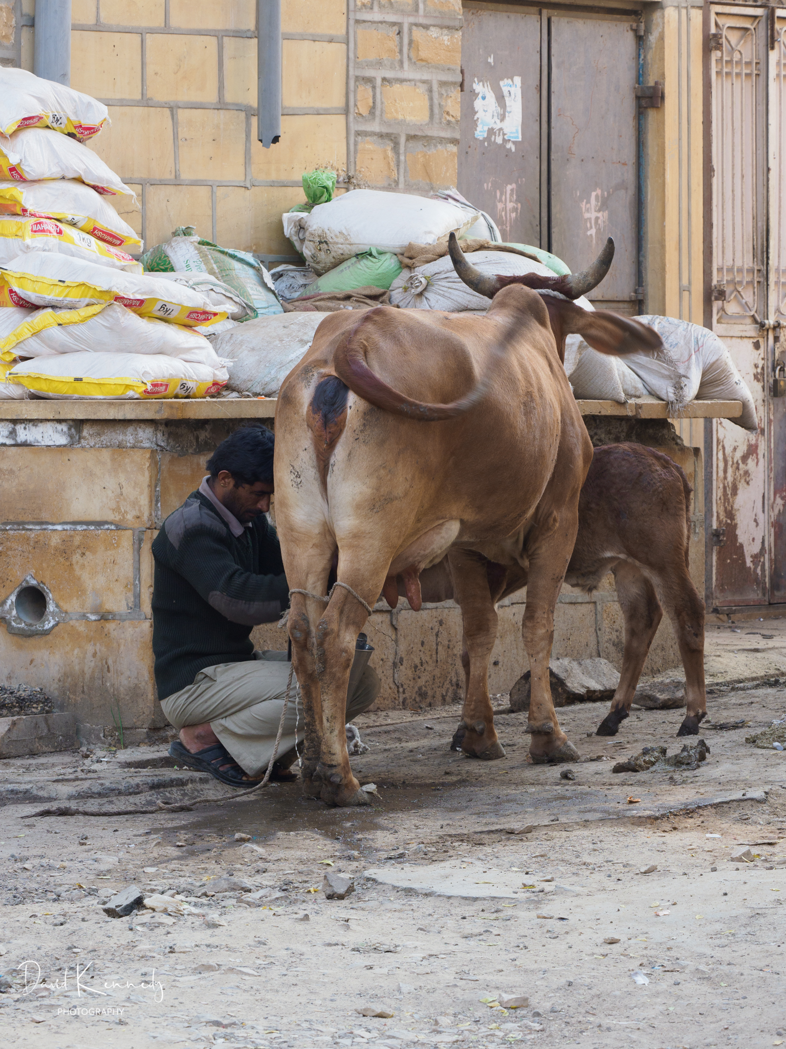 Cow being milked in the street in India
