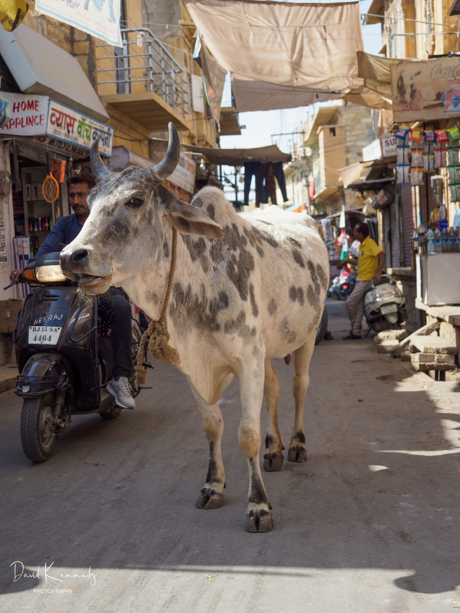 Cow in Narrow Street in India