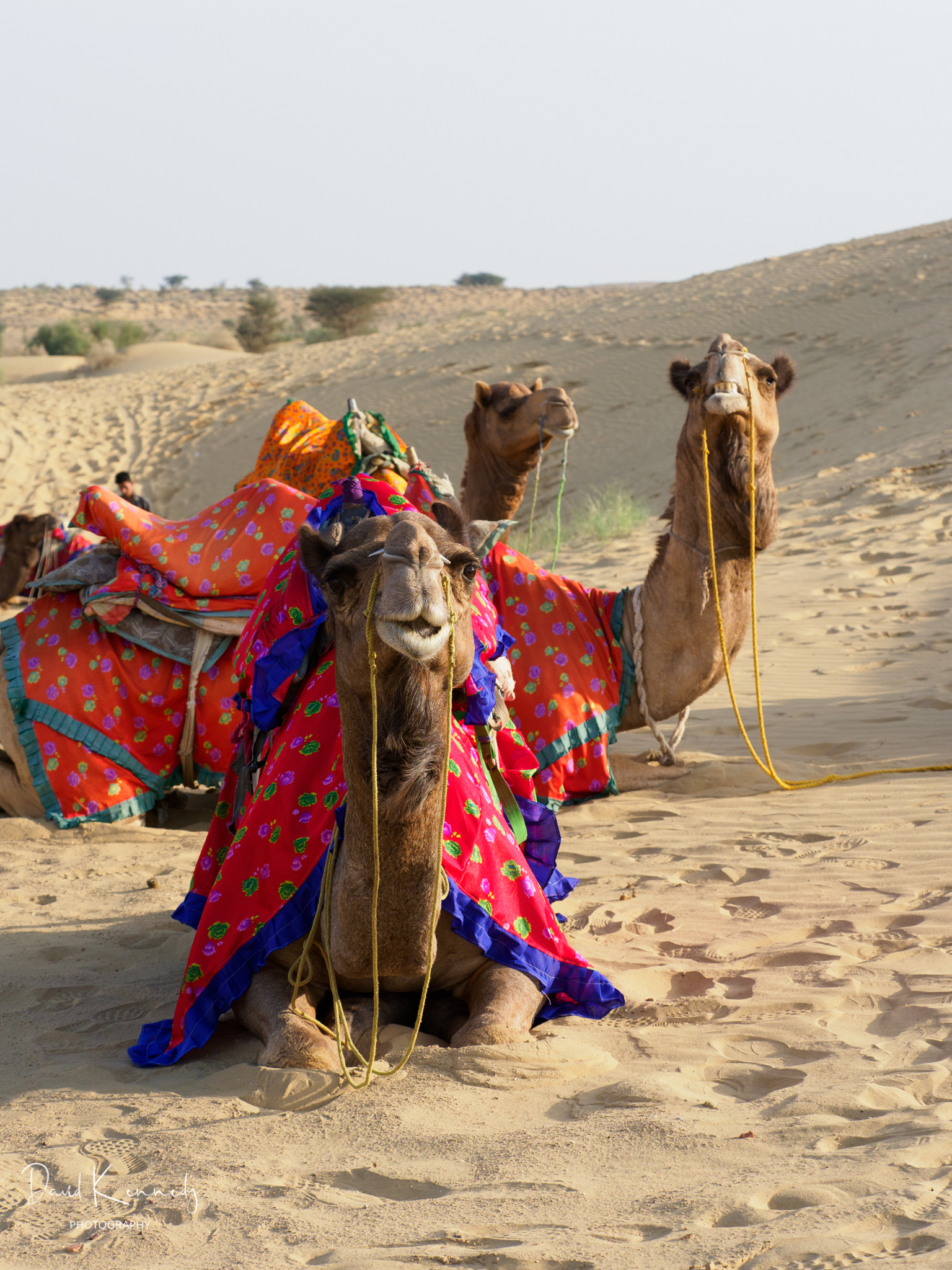 A group of camels have a rest in all their finery in the desert