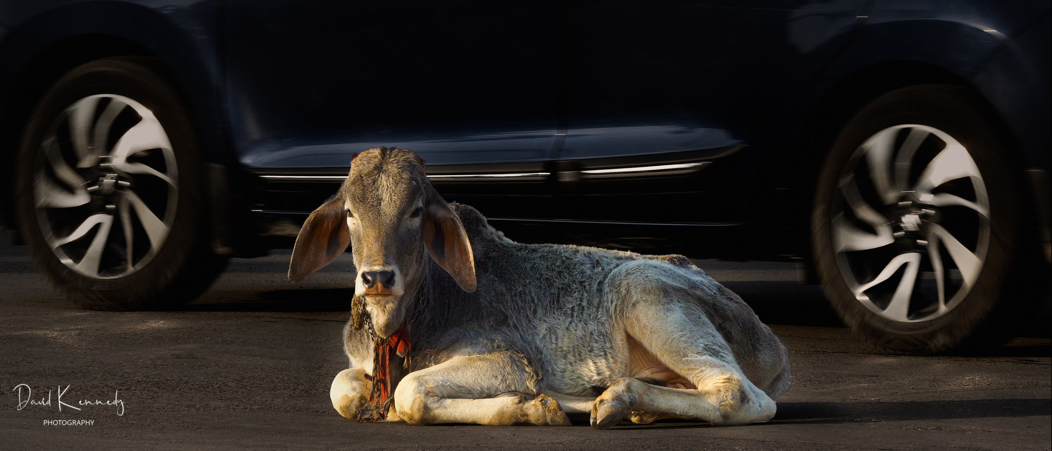 A street cow in lying in the road whilst a car passes behind it
